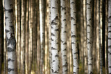 trunks of birch trees - 56871841