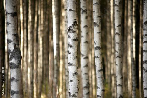 pnie-drzew-brzozy