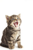 Cute kitten with mouth open, white background.