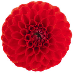 Red Dahlia flower on white background.