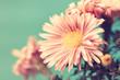 delicate vintage pale pink asters. macro shot