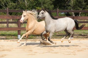 Beautiful stallions running together