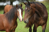 Fototapety Beautiful brown horses on pasturage