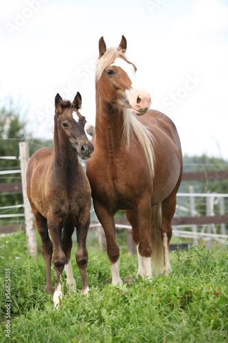 Brown mare with long mane standing next to the foal