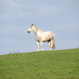 Beautiful white horse standing on horizon