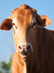 Close-up of brown  cow