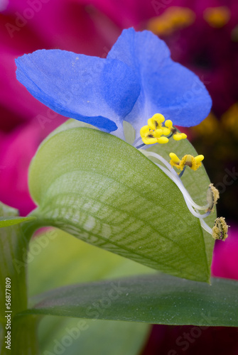 Dayflower asiatico (Commelina communis)