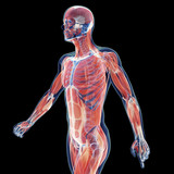 3d rendered illustration of the male musculature system poster