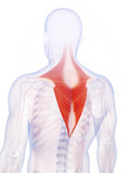 3d rendered illustration of the trapezius muscle poster