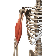3d rendered illustration of the upper arm muscle