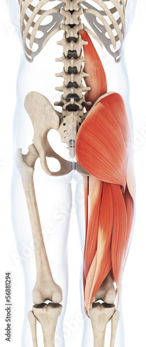 3d rendered illustration of the upper leg musculature