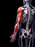 3d rendered illustration of the arm musculature poster