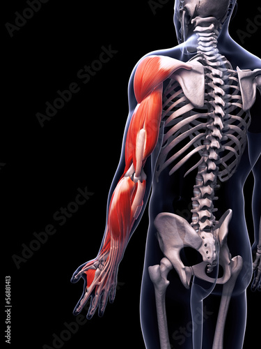 3d rendered illustration of the arm musculature
