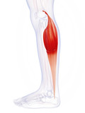 3d rendered illustration of the gastrocnemius muscle poster