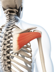 3d rendered illustration of the infraspinatus muscle
