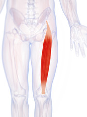 3d rendered illustration of the rectus femoris
