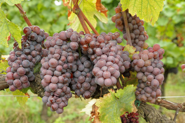 ripe hanging bunches of red wine grapes