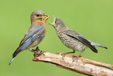 Female Eastern Bluebird With Baby