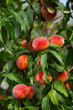 Peaches on a tree between green leaves