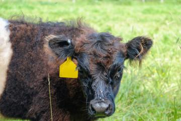 Tagged beef cow on a organic farm