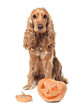 red-haired spaniel and jack-o-lantern