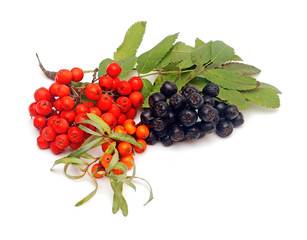 buck thorn, ashberry and chokeberry with leaves on a white backg