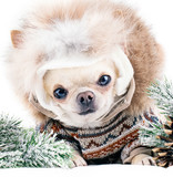 small chihuahua in fur cap and coat