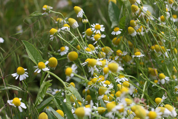 beautiful flower camomile on green field solar day