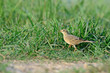 Bird in the pond (Paddyfield Pipit) in field background , Chiang