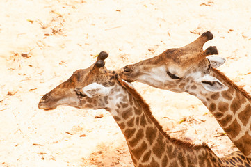 giraffe kissing giraffe
