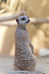 male suricata sits on sand