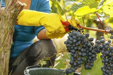 Traubenlese Rotwein