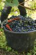 Weinlese Eimer rote Trauben mit Schere