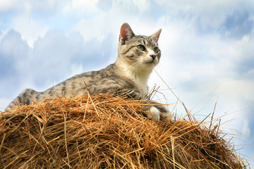 Striped, grey little cat sitting on hay.