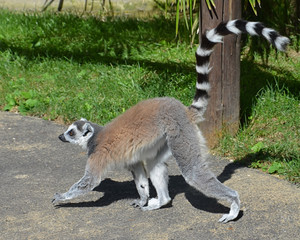 Walking Lemur