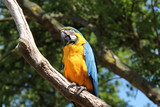 A Blue and Orange Parrot Sat on a Tree Branch.