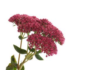 flower sedum