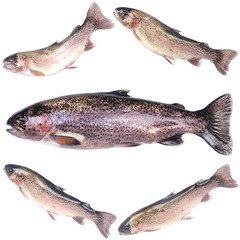Fish trout