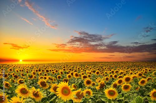 Plexiglas Zonnebloemen sunflowers