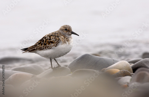 Sanderling, Calidris alba