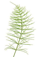 Equisetum arvense plant