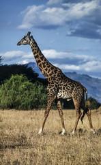 Kenya, Nakuru National Park, giraffe (FILM SCAN)