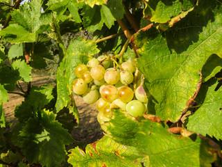 grappolo d'uva nel filare