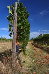 vineyard in Tuscany, Montalcino