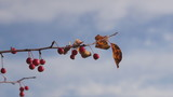 Branch with small red apples against a blue sky