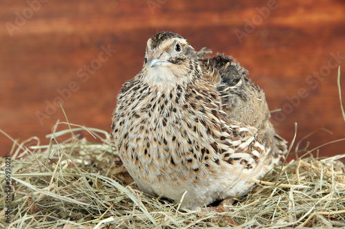 Young quail on straw on wooden background