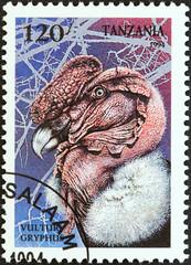 Andean condor (Vultur gryphus) (Tanzania 1994)