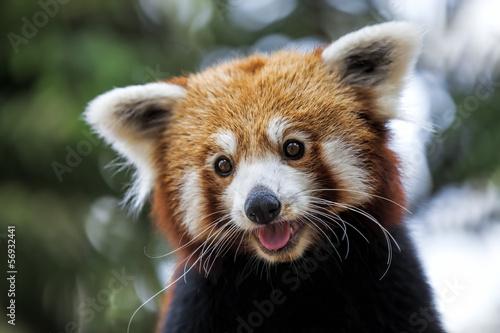 In de dag Panda Red Panda