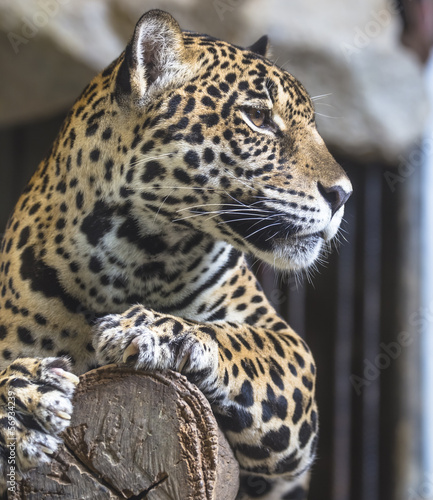 close up of a large Jaguar cat