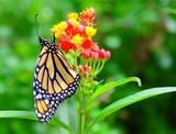 The Monarch butterfly feeding the nectar from the green flower.